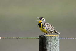Western Meadowlark singing.jpg