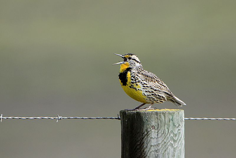File:Western Meadowlark singing.jpg