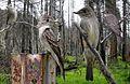 Western Wood Pewee From The Crossley ID Guide Eastern Birds.jpg