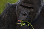 Western lowland gorilla (Gorilla gorilla gorilla) closeup eating.jpg