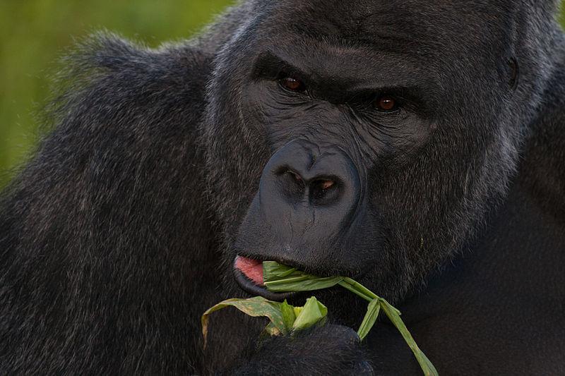 File:Western lowland gorilla (Gorilla gorilla gorilla) closeup eating.jpg