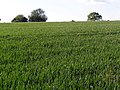 Wheat field south of Yews Farm - geograph.org.uk - 177787.jpg