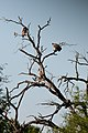 White-backed Vultures (3691566130).jpg
