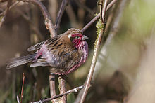 White-browed Rosefinch (♂) Pangolakha Wildlife Sanctuary Sikkim India 17.04.2015.jpg