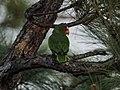White-fronted Parrot (16524504871).jpg