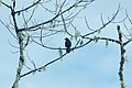 White-lined Tanager (Tachyphonus rufus) 2015-06-14 (1) (39431501225).jpg