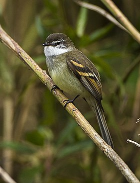 White-throated Tyrannulet - Colombia S4E1366 (16872351571).jpg
