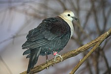 White Throated Ground Dove Male 056.jpg