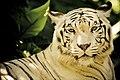 White Tiger (3474211373).jpg