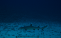 White Tip Reef Shark.png
