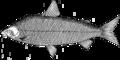 Whitefish (PSF).png