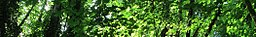 Wikivoyage page banner NW Broad Leaf Maple.jpg