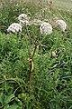 Wild Angelica (Angelica sylvestris) - geograph.org.uk - 910783.jpg