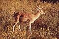 Wild Deer.jpg
