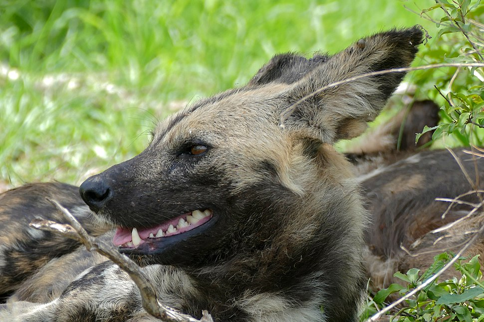 Wild Dogs (Lycaon pictus) (16394165128)