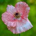 Wild Flower (19701496185).jpg