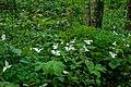 Wild Trillium Flowers PLT-FL-TR-5.jpg