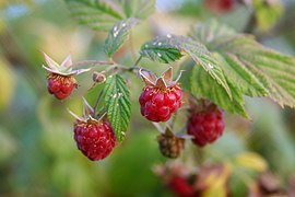 Wild raspberries close-up.jpg