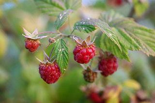 Ostružina malinová - plody