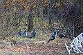 Wild turkey (39396953041).jpg