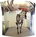 Wildlife - Thinktank Birmingham Science Museum - A Giant Deer - panoramic (8613601407).jpg