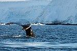 Wilhelmina Bay Antarctica Humpback Whale 3 (32394712527).jpg