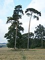 Wind blown trees on North Downs - geograph.org.uk - 1006236.jpg