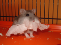 Winter white hamster.PNG