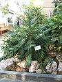 Wollemia nobilis2.jpg