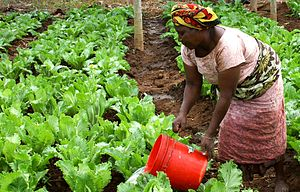 Agriculture in Tanzania - Woman watering crops