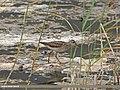 Wood Sandpiper (Tringa glareola) (15708158918).jpg