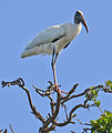 Wood stork by Bonnie Gruenberg.jpg