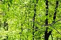 Wood thrush (40333303310).jpg