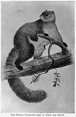 Eupetaurus cinereus in Richard Lydekkers Mostly Mammals (1903)