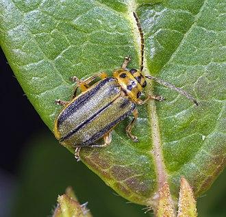 Elm leaf beetle - Image: Xanthogaleruca luteola MHNT Dos