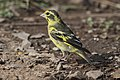 Yellow-breasted Greenfinch (45908204311).jpg