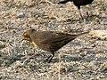 Yellow-headed Blackbird (female) Estero Llano SP Mission TX 2018-03-14 07-08-27 (25941719157).jpg
