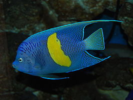 Yellowbar angelfish.jpg