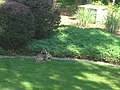 Young deer (2677592446).jpg