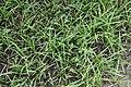 Zephyranthes atamasco 1zz.jpg