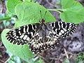 Zerynthia polyxena 01.jpg