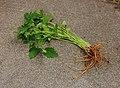 Zevenblad (Aegopodium podagraria) 01.JPG