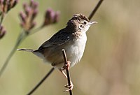 Zitting cisticola or streaked fantail warbler (Cisticola juncidis), at Rietvlei Nature Reserve, Gauteng, South Africa (23857059143).jpg