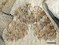 ZooKeys-130-217-g001 Undulopsychopsis alexi.jpg