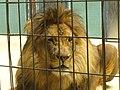 Zoo Berlin - Loewe (Lion) - geo.hlipp.de - 40692.jpg