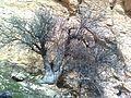 """""""Pistacia tree ^ Pazangir"""" Simakan, Fars, Iran - panoramio.jpg"""