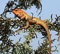 'Little dragon'. Tree climbing lizard - Flickr - gailhampshire.jpg