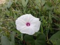 'cotton flower.jpg