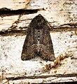 (2337) Marbled Minor (Oligia strigilis) (27406936806).jpg