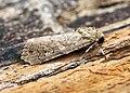 (2385) Small Mottled Willow (Spodoptera exigua) (19583977929).jpg